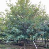 高3米娜塔栎多少钱一棵 3公分5公分娜塔栎价格表