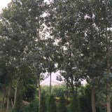 红叶杨市场价格 基地3~5公分红叶杨工程苗批发