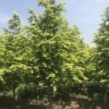 金叶水杉树苗哪家好 基地3公分金叶水杉价格