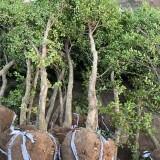 江苏小叶黄杨树批发  哪里有卖小叶黄杨树