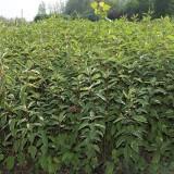 红瑞木批发价格  红瑞木种植前景  行情
