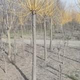 3公分黄金槐 基地4公分黄金槐多少钱一棵
