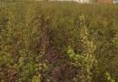 新疆野苹果种子