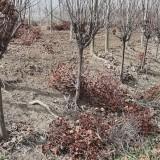 批发绿化苗木紫叶李 地径4公分紫叶李价格