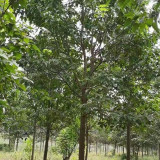 5公分楸树价格 6-8公分楸树工程苗基地批发
