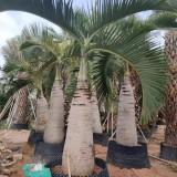 2.5米酒瓶椰子价格 3米酒瓶椰子报价 3.5米酒瓶椰子批发