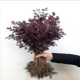 红花继木色块苗价格 红花继木小苗多少钱一棵