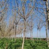 10公分复叶槭价格 出售复叶槭工程苗