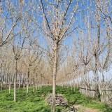 江苏复叶槭价格 8公分复叶槭多少钱一棵