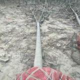 15公分臭椿价格 江苏臭椿绿化苗种植基地