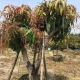 芒果树苗多少钱一棵 基地芒果盆栽价格