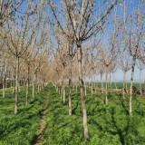 江苏复叶槭基地 米径12公分复叶槭多少钱