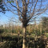 5公分皂角树价格 3至5公分皂角树多少钱一棵
