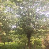 5公分皂角树多少钱一颗 3~5公分皂角树价格