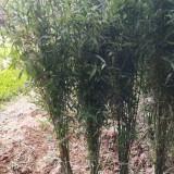 哪里有竹苗卖 批发1公分2公分竹子苗价格