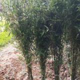 2公分竹子价格 江苏竹子批发供应