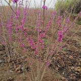 冠幅1.8米~2米丛生紫荆价格 丛生紫荆价格工程报价
