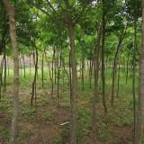 10公分皂角树价格报价 江苏皂角种植基地