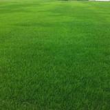 黑麦草草坪价格 黑麦草多少钱一平方