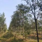 12公分臭椿树价格 臭椿苗木基地批发