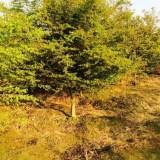 8公分鸡爪槭价格 江苏鸡爪槭基地批发