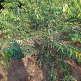 哪里有丛生茶条槭 基地丛生茶条槭价格表