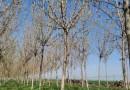 8公分复叶槭价格 10公分复叶槭树苗基地批发