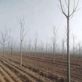 臭椿树价格 12公分15公分臭椿树哪里有卖