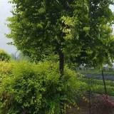 12公分金叶榆树价格15公分金叶榆树苗多少钱一棵