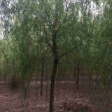 5公分柳树价格 基地6公分柳树多少钱一棵