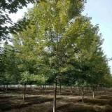 18-20公分北美枫香价格 江苏北美枫香种植基地
