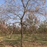 12公分乌桕树价格 基地15公分乌桕树多少钱一颗