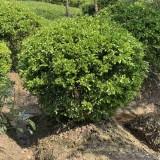 冠幅1.2米1.5米2米小叶黄杨球价格