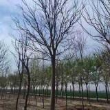 15公分楸树价格20公分楸树多少钱一株