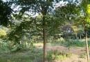 5公分榉树多少钱一棵 6公分榉树现价行情