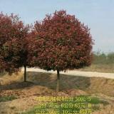3公分石楠价格 基地4公分石楠树价格多少钱一棵