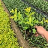 黄金叶袋苗批发 绿化用黄金叶苗价格