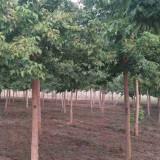青叶复叶槭价格表 5至8公分青叶复叶槭价格