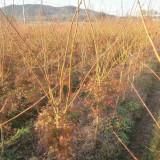 7公分日本红枫什么价 5至10公分日本红枫树价格