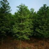 米径3公分4公分5公分中山杉价格