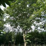 8公分七叶树价格 10公分七叶树上车价多少钱一棵