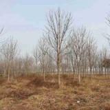 5公分七叶树价格 8~10~12公分七叶树价格表
