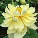 红花碗莲批发价格 30公分碗莲花多少钱一棵