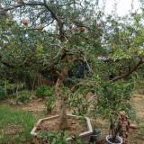 10公分石榴树价格是多少 12公分石榴树苗哪里有