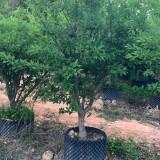 福建红心李子树价格 李子树基地种植