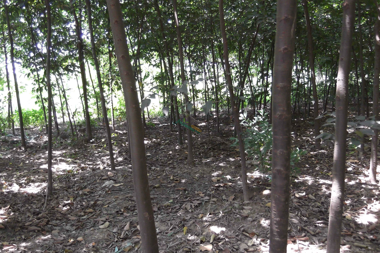 江苏南京8公分三角枫价格/五角枫报价 - 中国供应商