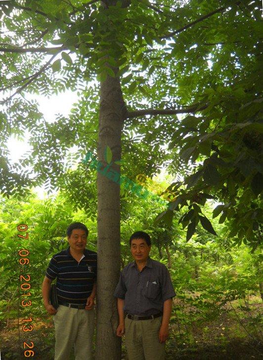 【美国黑核桃苗】高度80厘米地径1厘米核桃树价格