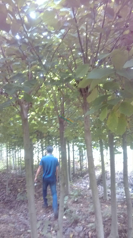 花木首页 全部分类 绿化苗木 落叶乔木 红白玉兰 > 白玉兰   本苗圃以
