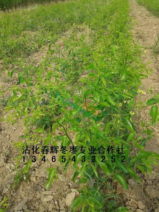 沾化冬枣树苗