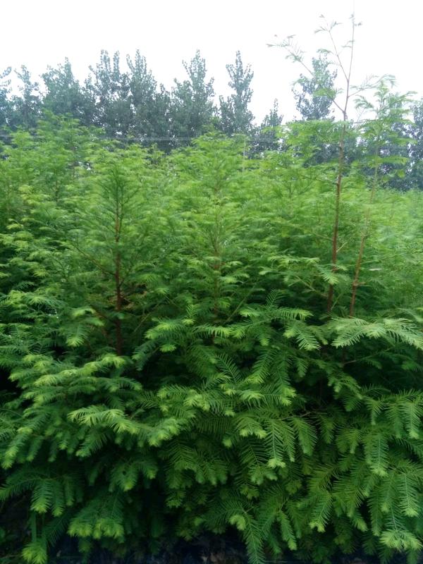 水杉是什么植物?水杉如何养殖?
